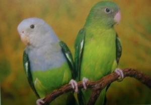 马达加斯加爱情鸟该怎么饲养